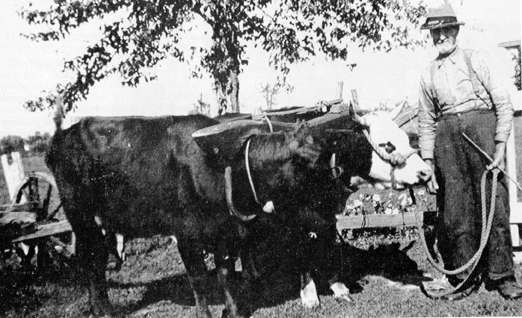 John Benzinger and his oxen